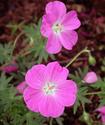 Герань розовая Gerroz10