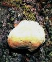 Губка лиственничная Gubka10