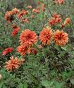 Хризантема посевная Hrizpo10