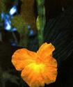 Имбирь желтый или Куркума длинная Imbir10