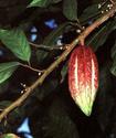 Какао или Шоколадное дерево Kakao10