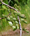 Кампешевое дерево Kampes10
