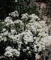 Кардария крупковая Kardar10