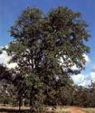 Копайское дерево Kopade10