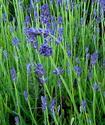 Энциклопедия лекарственных растений Lavand10