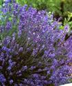 Энциклопедия лекарственных растений Lavand11