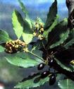 Энциклопедия лекарственных растений Lavr10