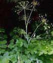 Энциклопедия лекарственных растений Lazurn10