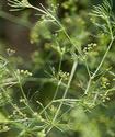 Энциклопедия лекарственных растений Ledebu10