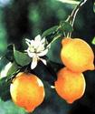 Лимон Limonz10