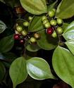 Энциклопедия лекарственных растений Linder10