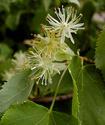 Энциклопедия лекарственных растений Lipa10