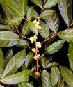 Муира-Пуама или Катуаба Muirap10