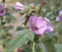 Энциклопедия лекарственных растений N_3710