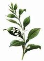 Нероли (Citrus bigaradia) Neroli10