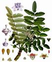 Олибанум или Ладанное дерево Oliban10