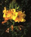 Ослинник двулетний или Энотера Oslinn10