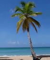 Пальма кокосовая Palmak10