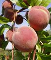 Персик обыкновенный Persik11