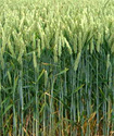 Пшеница Psheni10