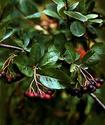 Рябина черноплодная или Арония черноплодная Ryabch10