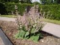 Шалфей мускатный (лат. Salvia sclarea) Salvia10