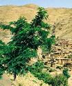 Сандарак или берберская туя Sandar10