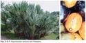 Карликовая пальма (Serenoa repens (Bartr.) Small) Sereno10