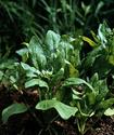 Энциклопедия лекарственных растений Shpina10