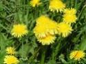 Одуванчик лекарственный (Taraxacum officinale Wigg) Taraxa10