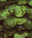 Вороний глаз четырехлистный Voroni10