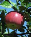 Яблоня домашняя Yablon11
