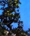 Ясень белый или манный Yasen10