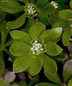 Энциклопедия лекарственных растений Yasmen11