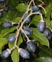 Энциклопедия лекарственных растений Yelemi10