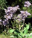 Эриодиктион или Святая трава Yereod10