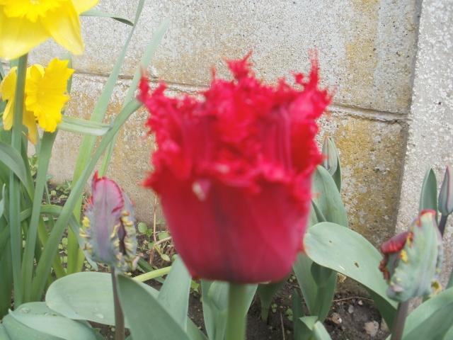 Tulipe 2012  - Page 6 13-04-10