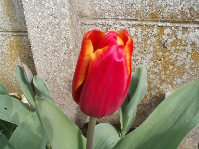 Tulipe 2012  - Page 6 13-04-11