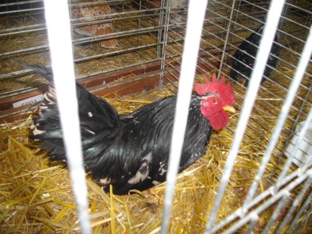 Ma passion pour l'aviculture 1coqch12