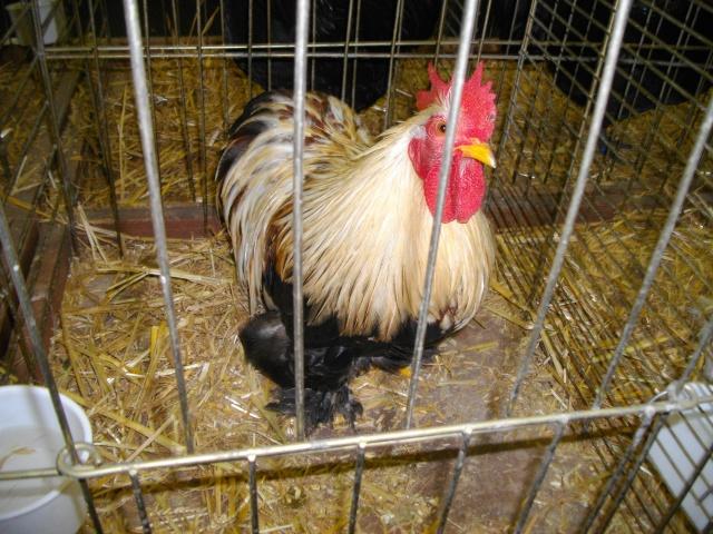 Ma passion pour l'aviculture 1coqpa15