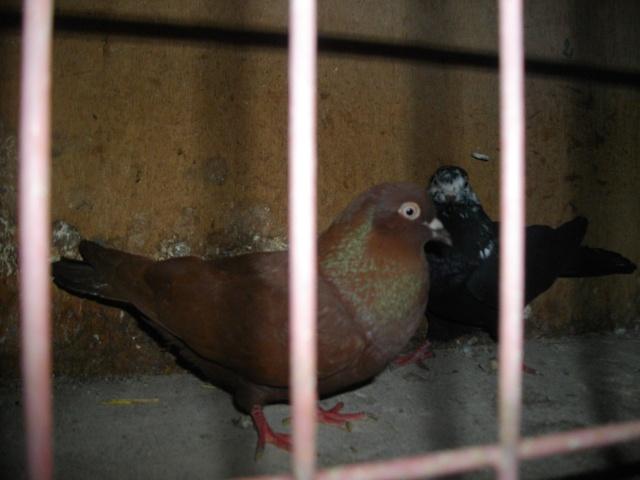 Mes pigeons 1ercou10