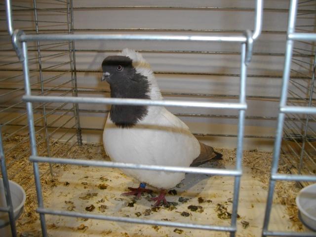Ma passion pour l'aviculture - Page 2 2coqui10