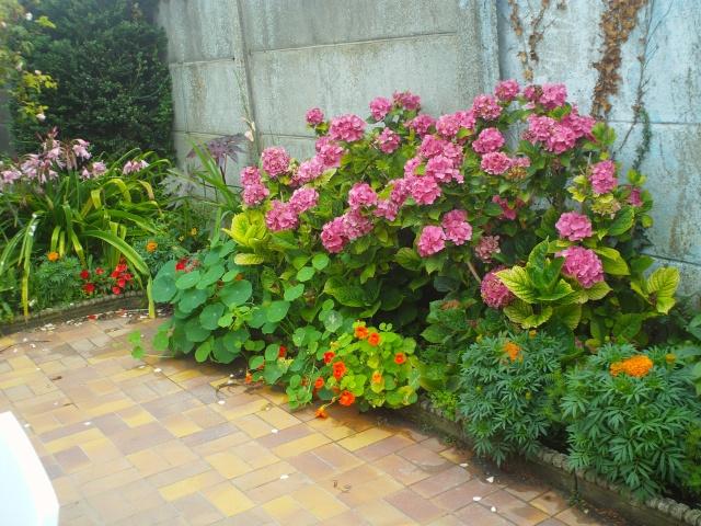 Hydrangea   Hortensia des jardins - Page 4 Dsc00114