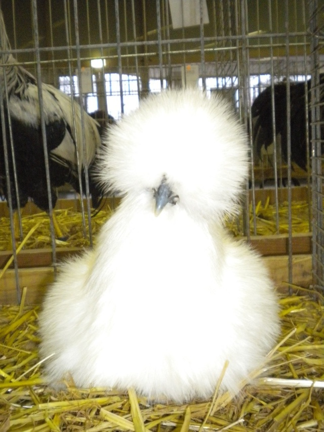 Ma passion pour l'aviculture Dscn9510
