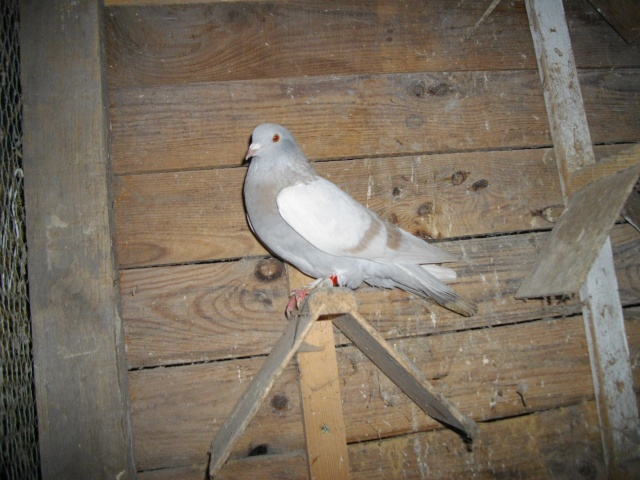 Mes pigeons Femell12