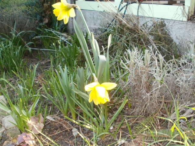 Jonquille, Narcisse P3140510