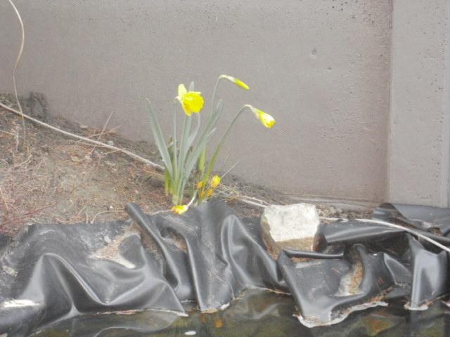 Jonquille, Narcisse P3170510
