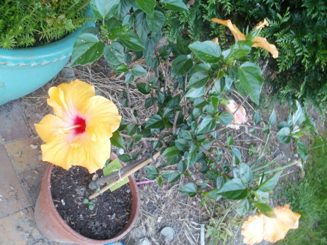 Hibiscus rosa sinensis - Page 7 P7240215
