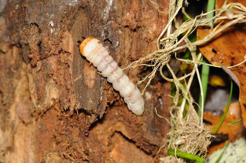 Larves de coléoptères? Larve10