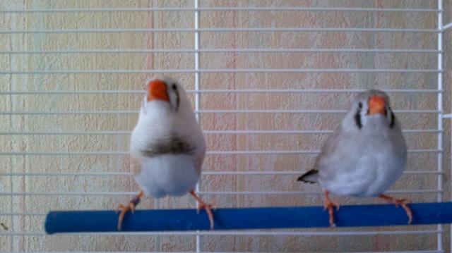 voici mon premier couple mandarin 27022011